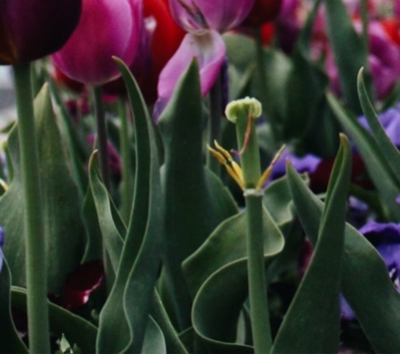 Pink and violet tulips with green stems