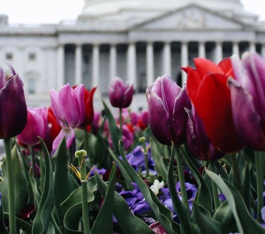 Red and Violet Tulips in front of United States Lincoln Memorial Building